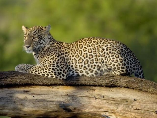 Pafuri Leopard