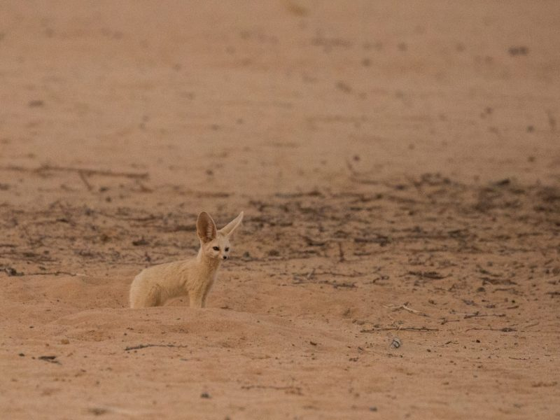 Fennec fox, Ennedi