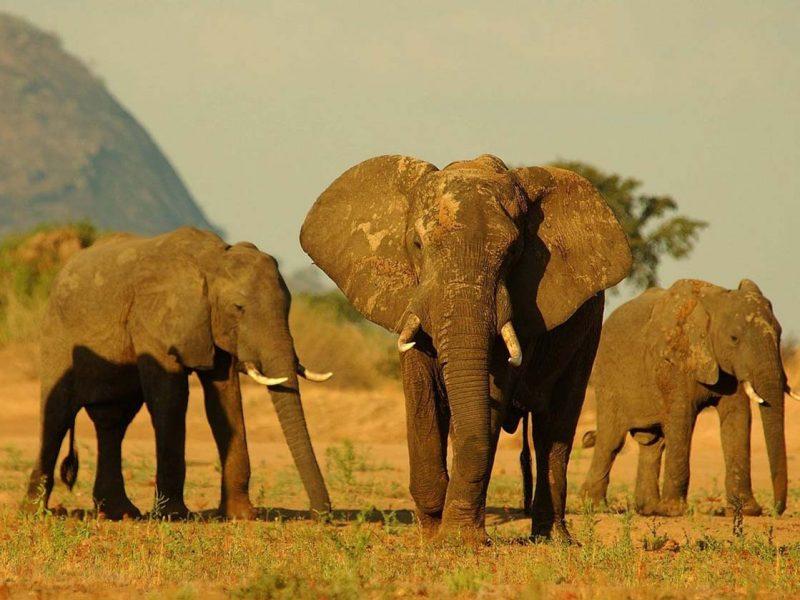 Niassa Elephant