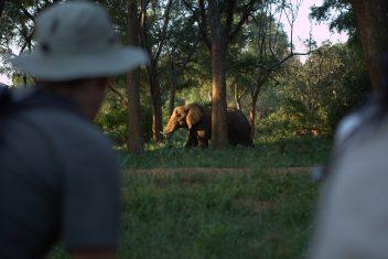 Pafuri walking - elephant