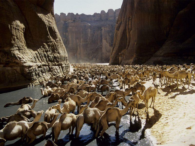 Ennedi camels