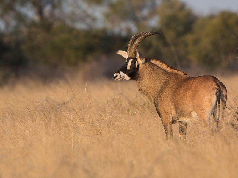 Roan bull