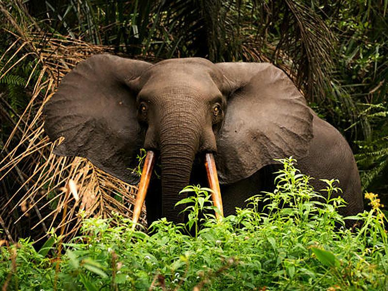 Gabon Elephant
